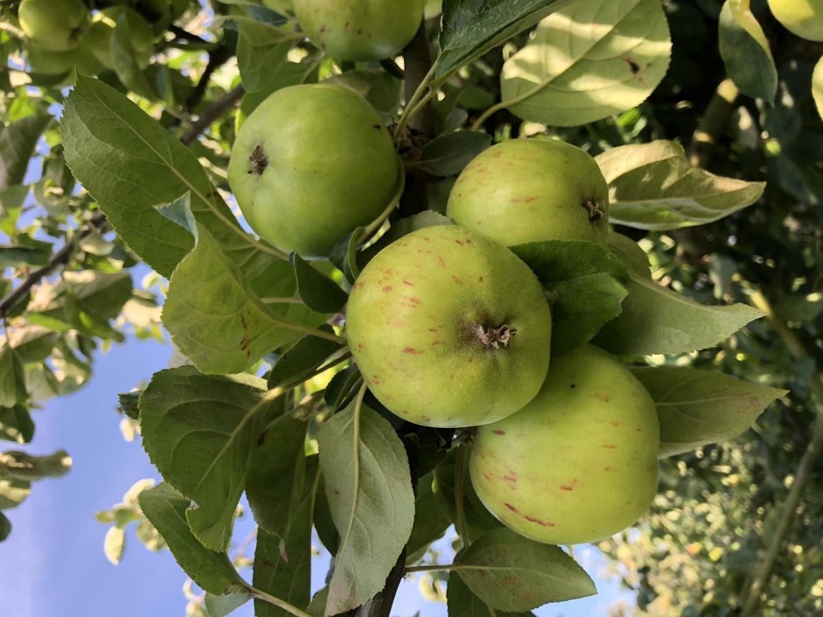 2018 Gravensteins ripening soon