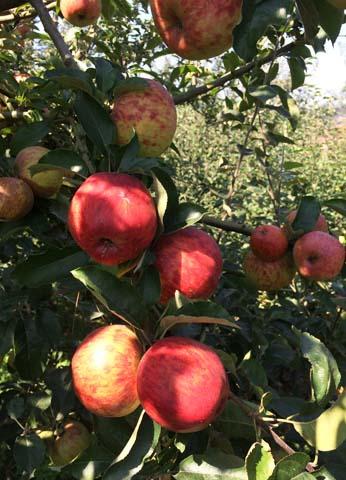 red Gravenstein apples